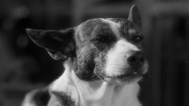 vidéos et rushes de b/w close up dog opening + closing mouth + licking lips - animal mouth