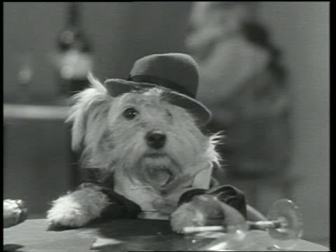 b/w 1930 close up dog wearing hat askew / dogway melody - betrunken stock-videos und b-roll-filmmaterial