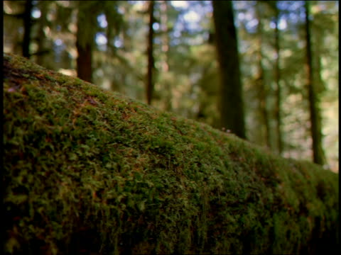 Close up dolly shot moss covered trunk / pine forest in background