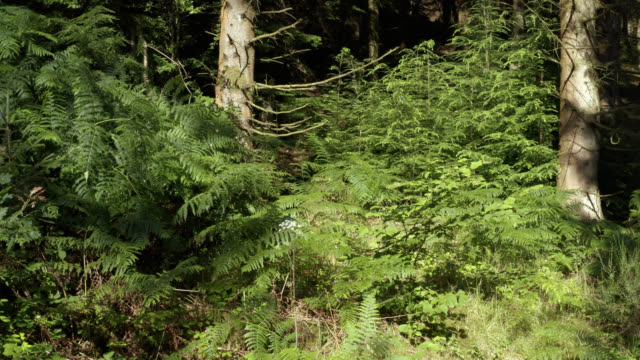 スコットランドの松林のドローン映像をクローズアップ - パインコーン点の映像素材/bロール