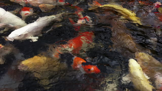 close up drone shot showing large koi carp swimming in a tank, england, united kingdom - aquatic organism stock videos & royalty-free footage