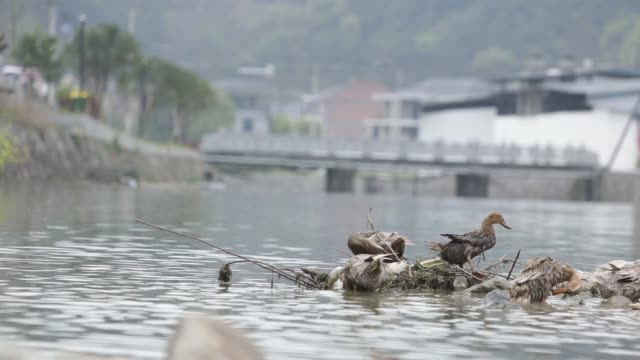 close up ducks stand on rocks in a river at a village near jiande zhejiang province china on thursday april 6 ducks swim down a river at a village... - zhejiang province stock videos & royalty-free footage