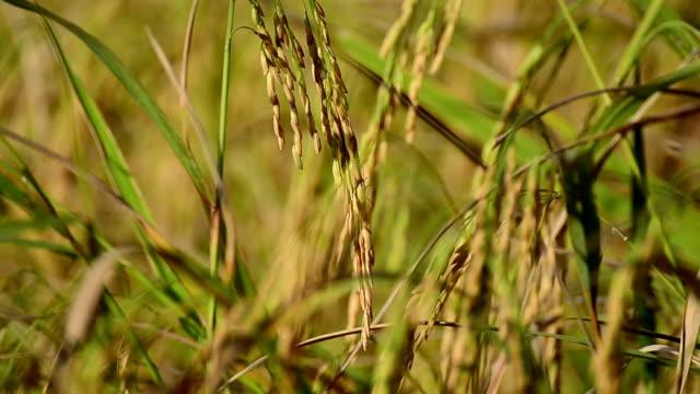 vídeos de stock e filmes b-roll de close-up de arroz ouvido - campo murado