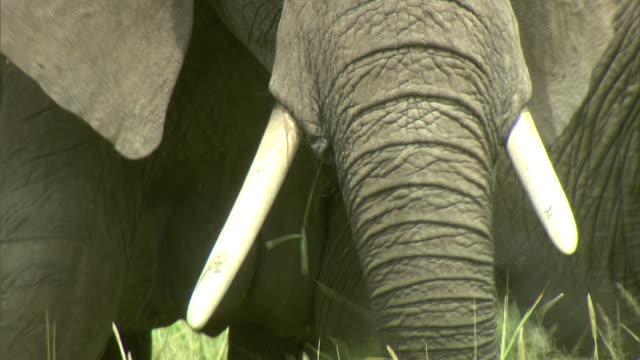 Close Up - Elephants graze on a grassy savanna / Kenya