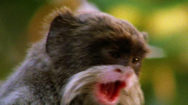 vídeos de stock, filmes e b-roll de close up emperor tamarin chewing + looking around / tambopata, peru - tambopata