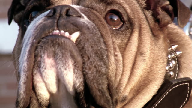 Close up English bulldog looking around with tooth snagged on lip/ Dallas, Texas