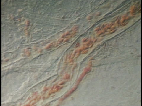 microscopic close up erythrocytes in bloodstream - human cell stock videos & royalty-free footage