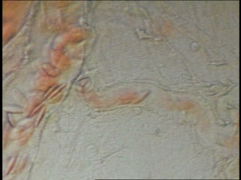 microscopic close up erythrocytes in bloodstream - magnification stock videos & royalty-free footage