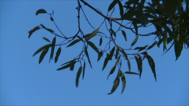 close up eucalyptus gum leaves and small branch blowing in wind silhouette against blue sky background - ast pflanzenbestandteil stock-videos und b-roll-filmmaterial