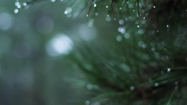 vídeos de stock e filmes b-roll de close up, evergreen tree during rain storm - árvore de folhas perenes