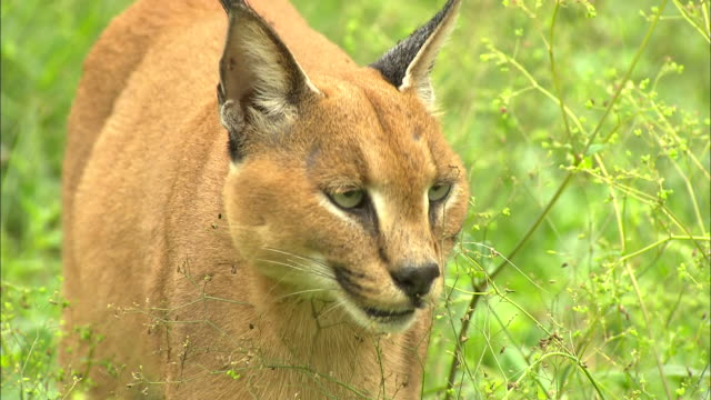 Close up; face of caracal cat as it moves through tall grass