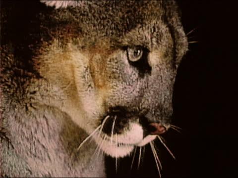 vídeos y material grabado en eventos de stock de 1983 close up face of cougar growling in the dark / night - puma