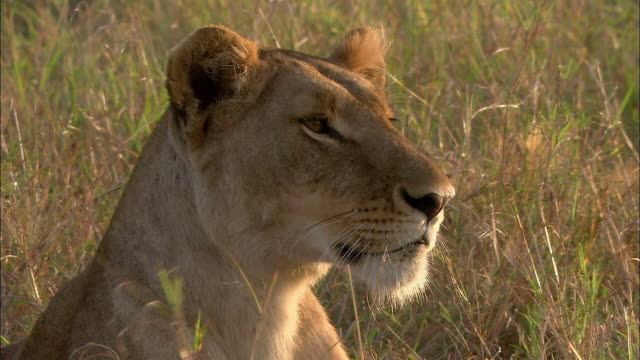 Close up face of female lion looking off in distance / Kenya, Africa