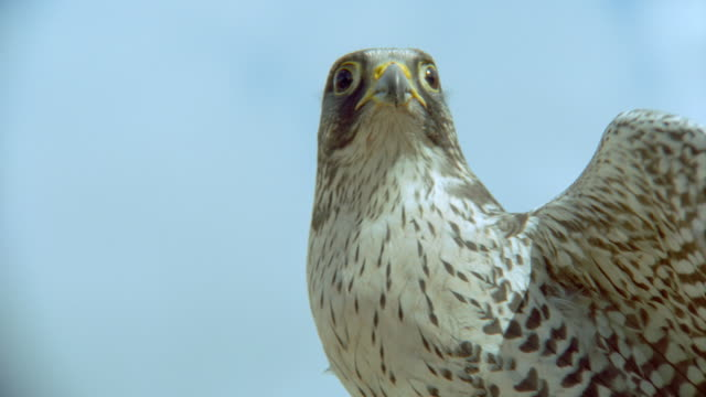 vídeos y material grabado en eventos de stock de close up face of grey gyrfalcon flapping wings - halcón