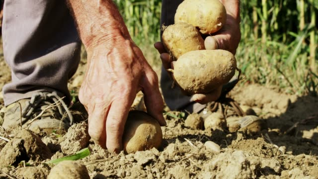 close up farmer harvesting,picking up potatoes in sunny field,slow motion - potato stock videos and b-roll footage