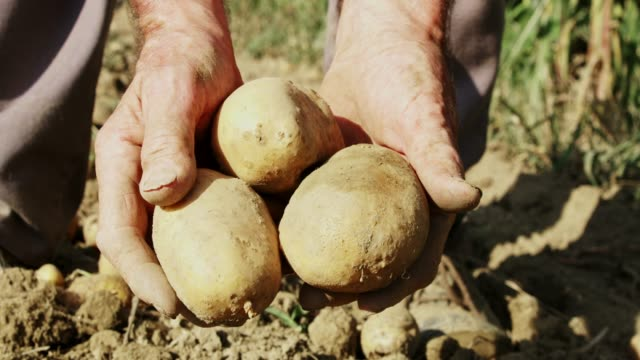 close up farmer harvesting,picking up potatoes,slow motion - lavoratore agricolo video stock e b–roll
