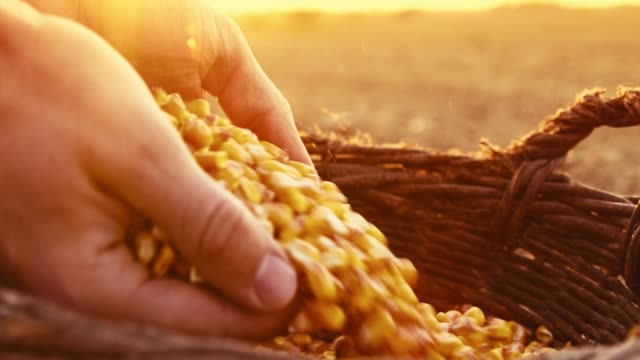 Close up farmer scooping corn kernels in basket,sowing,slow motion