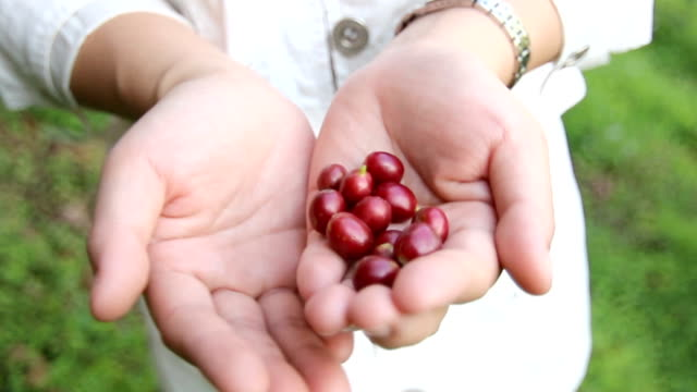 close up farmers are collecting farm coffee beans. - plantation stock videos & royalty-free footage