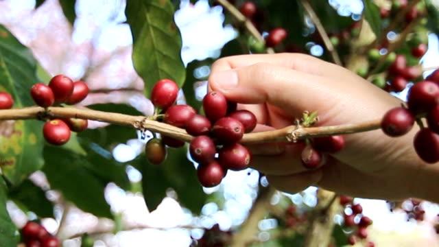 vídeos de stock, filmes e b-roll de close-up agricultores estão coletando feijões de café da fazenda. - colher atividade agrícola