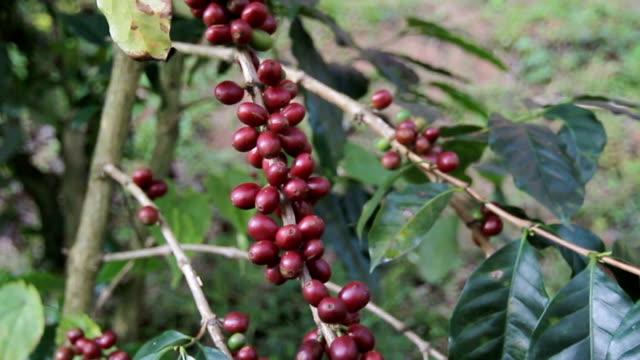 Nahaufnahme der Landwirte sammeln Bauernhof Kaffeebohnen.
