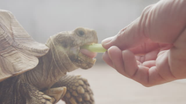4k close up feeding young african spurred tortoise - reptile stock videos & royalty-free footage