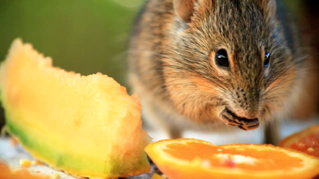 close up field mouse eating - mouse animal stock videos & royalty-free footage