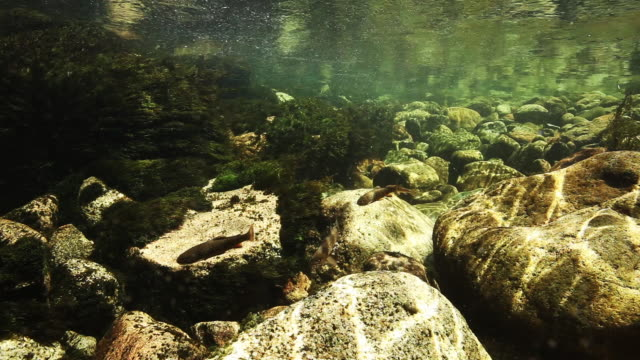 close up, fish swim in shallow river - medium group of animals stock videos & royalty-free footage