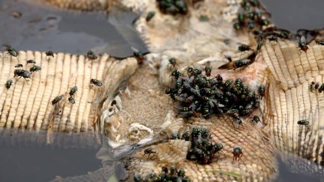close up flies and fly larvae eat the abdomen cavity of dead animal - dead animal stock videos & royalty-free footage