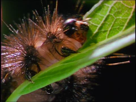 close up pan fly rubbing legs together on green plant leaf next to large pink caterpillar - invertebrate stock videos & royalty-free footage