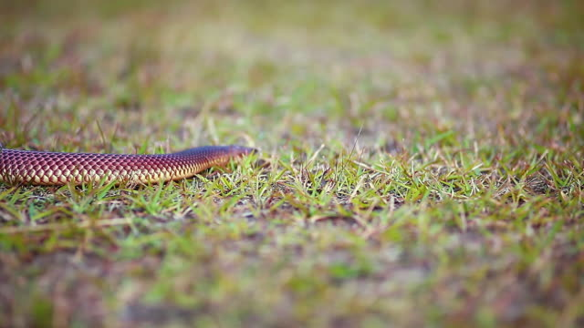 close up focusing on small snake slithering through grass - carnivora stock videos and b-roll footage