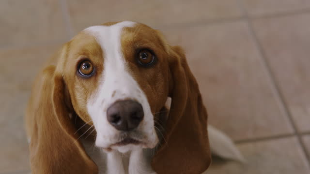 Close up forlorn Bassett hound with long floppy ears, he looks at camera and attempts to speak.