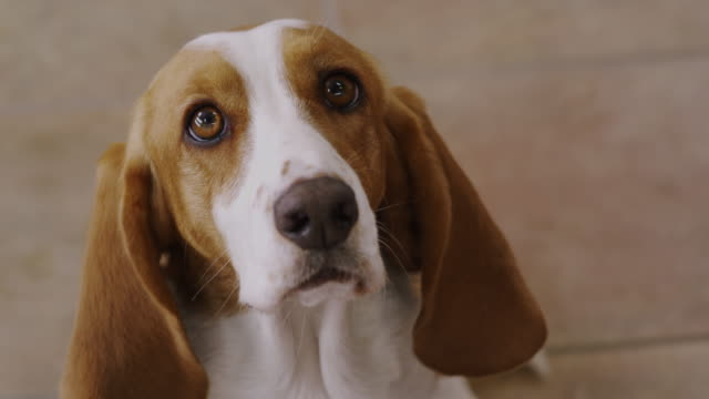 close up forlorn bassett hound with long floppy ears, he looks up. - hound stock videos & royalty-free footage
