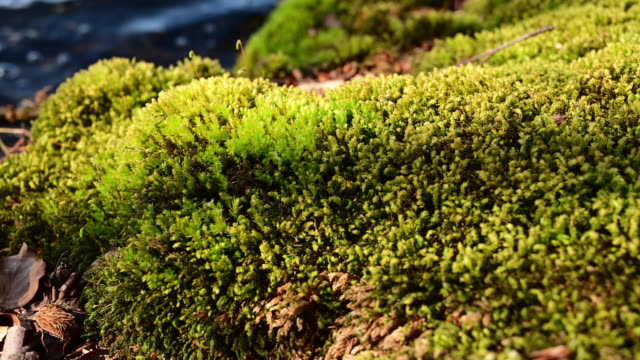 close up fresh and green moss on a rock in the shore of a lake in spring. pan movement. - moss stock videos & royalty-free footage