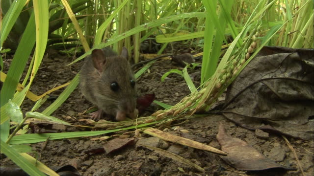 close up front angle - rat eating in rice field / bangladesh - rice stock videos and b-roll footage