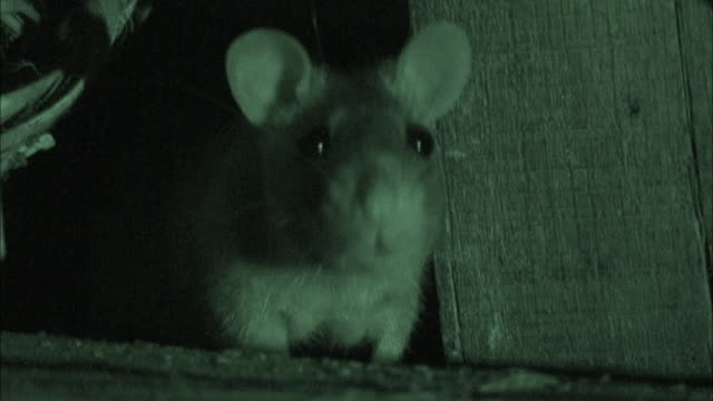 stockvideo's en b-roll-footage met close up front angle - rat sniffing air; night vision / bangladesh - rat