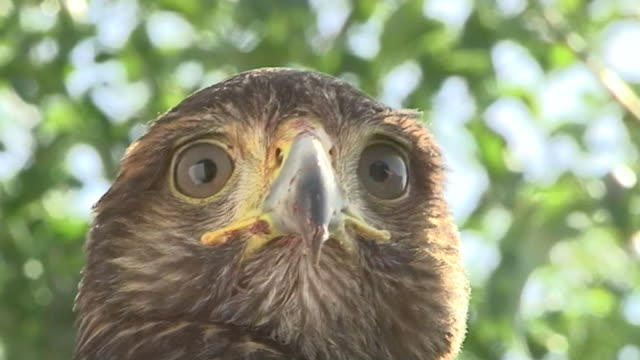 vidéos et rushes de close up front angle slow motion - head of a raptor, eyes scanning its surroundings / costa rica - plume