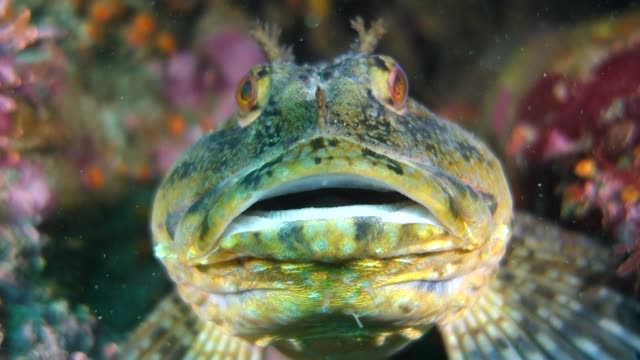 close up: front of tompot blenny rockpool fish with an open mouth - tompot blenny stock videos and b-roll footage