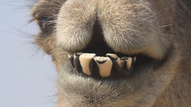 a close up frontal view of a dromedary camels mouth chewing and breathing with a blue sky background behind - kauen stock-videos und b-roll-filmmaterial