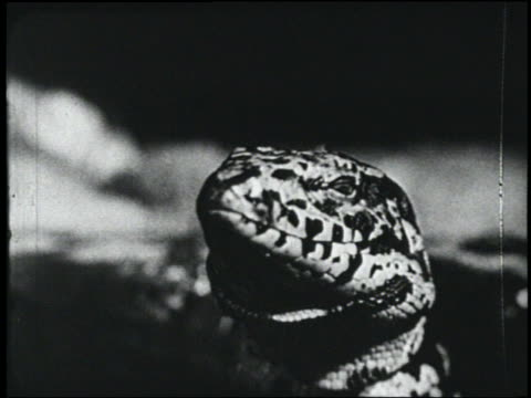 b/w 1954 close up giant spotted lizard flicking tongue - 1954 bildbanksvideor och videomaterial från bakom kulisserna