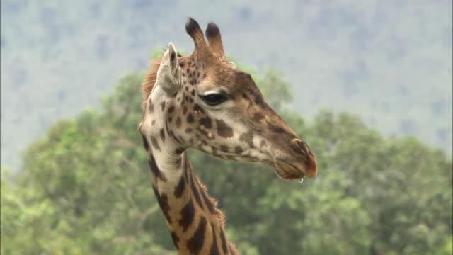 vídeos de stock, filmes e b-roll de close up giraffe body and tree / tilt up up neck to head with tree + heat haze in background / masai mara, kenya - animal abdomen