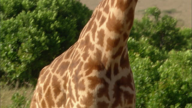 close up giraffe's legs / pan up body to head as it walks behind trees / kenya, africa - neck stock videos & royalty-free footage