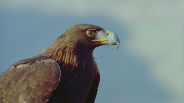 vidéos et rushes de close up golden eagle perched on rock above canyon - aigle royal