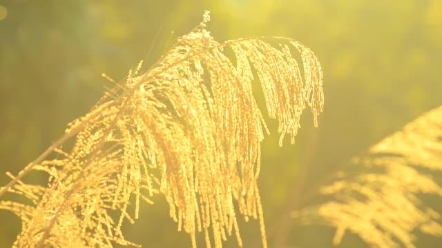 vídeos de stock, filmes e b-roll de close up: golden grama flores no vento sob a luz do sol - cabelo verde