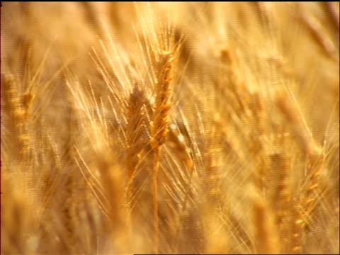 close up golden wheat in field blowing in wind / washington - 小麦点の映像素材/bロール