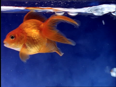 close up goldfish swimming in blue water / bubbles rising to surface - in bodenhöhe stock-videos und b-roll-filmmaterial