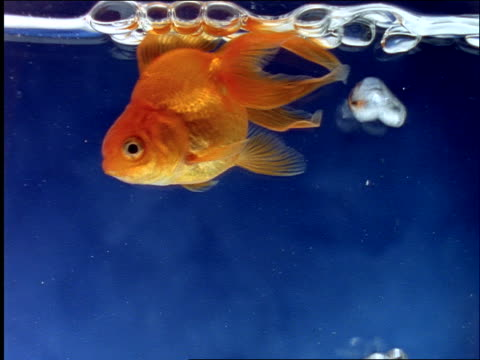 close up goldfish swimming in blue water / bubbles rising to surface - goldfisch stock-videos und b-roll-filmmaterial