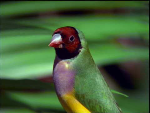close up gouldian finch looking around / brazil - medium group of animals stock videos & royalty-free footage