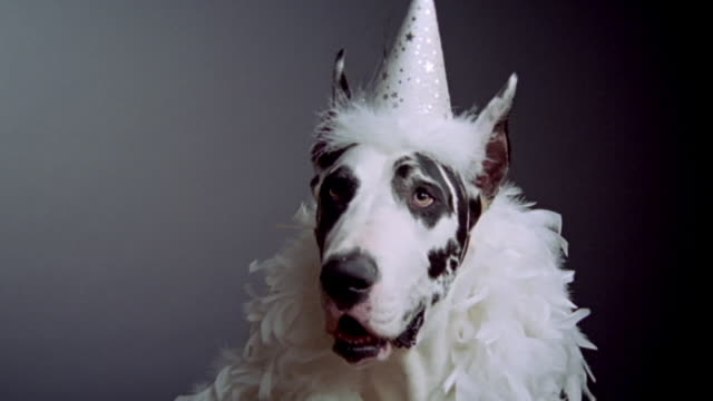 close up great dane in party hat and boa/ california - party hat stock videos & royalty-free footage