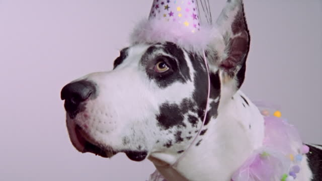 close up great dane in party hat and collar/ california - party hat stock videos & royalty-free footage