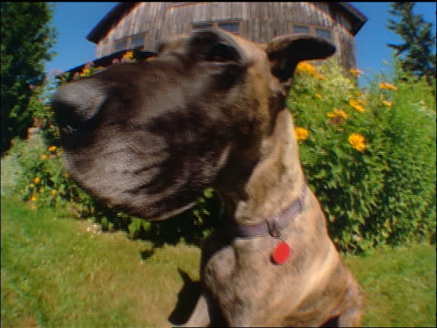 fisheye close up great dane looking at camera / country house + flowers in background - fish eye lens stock videos & royalty-free footage